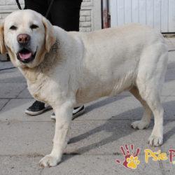RASTI – Labrador – Rezerwacja